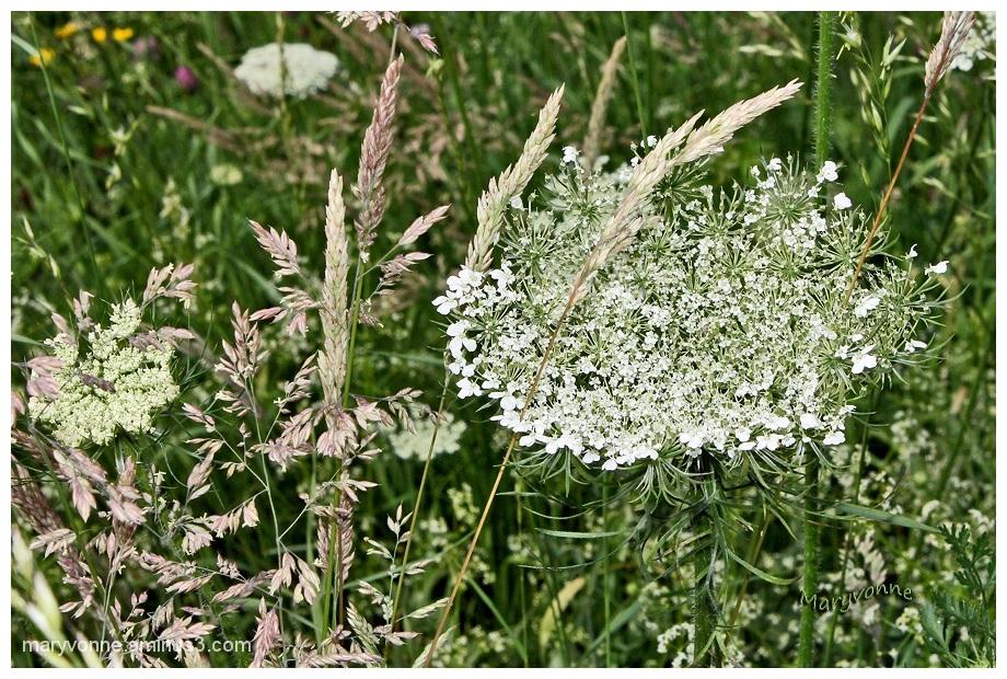graminées herbes nature
