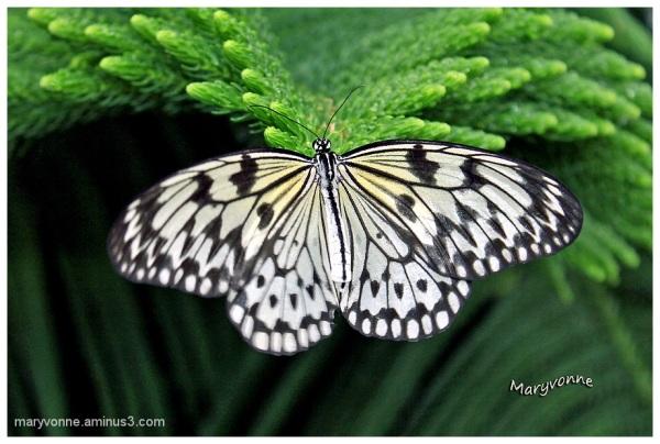 Papillon Leuconé