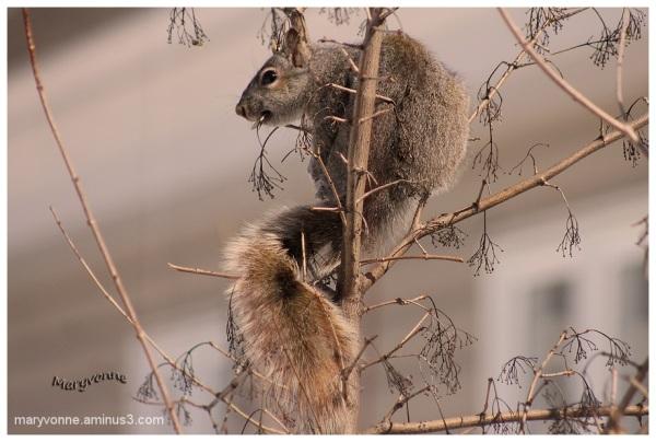 Mon ami Ti-Gris (écureuil)