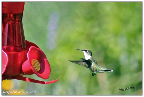 Colibri dans mon jardin