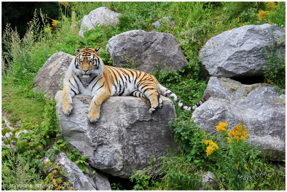 Tigre de Sibérie, Zoo de St-Félicien