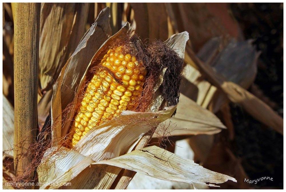 Le maïs est mûre