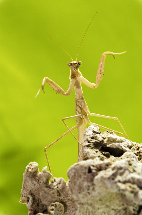 mantis //