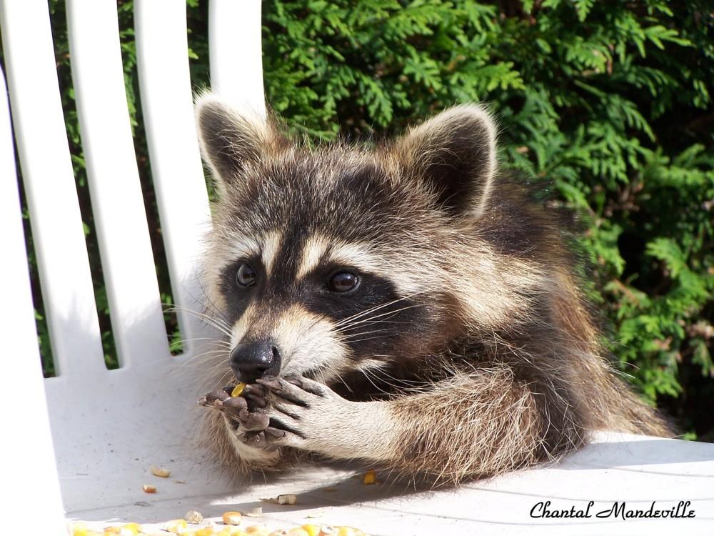 Sophie... The Raccoon