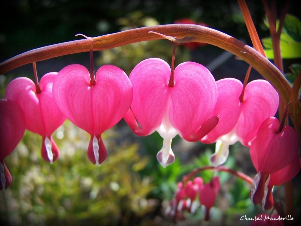 Coeurs Saignants Roses