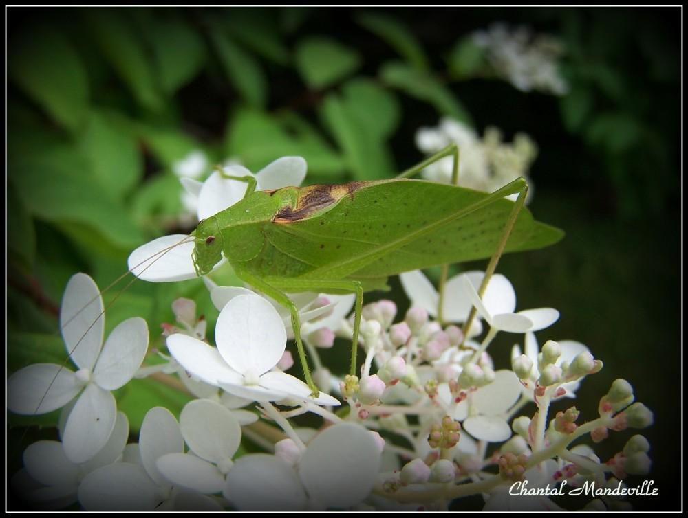 La Sauterelle surla fleur