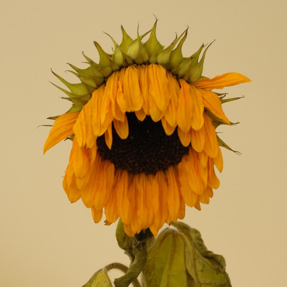 Faded sunflower
