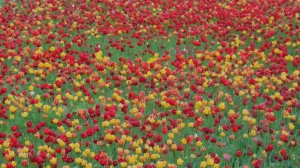 Tulip Gardern