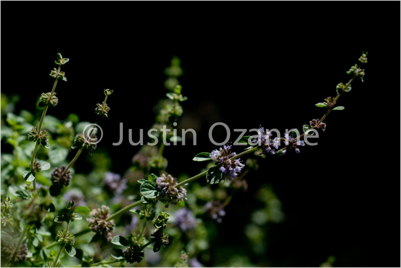 Purple Clover Flowers