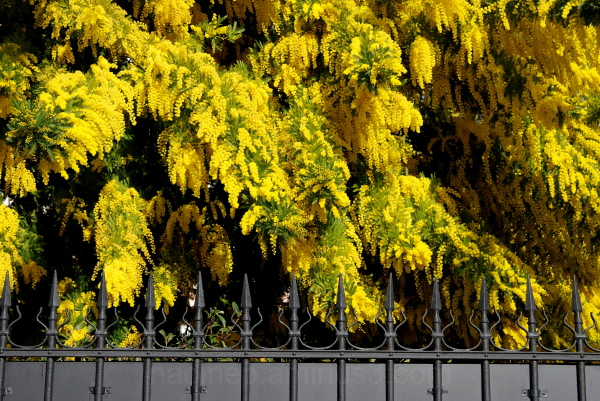 Garde rapprochée des Mimosas.....