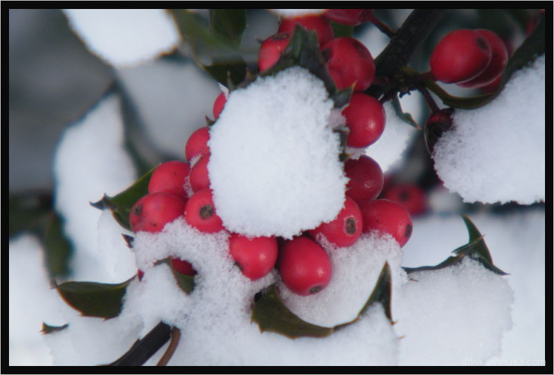 Holly berries in winter