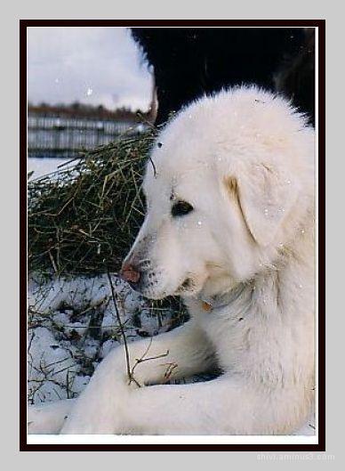 white Akbash - dog