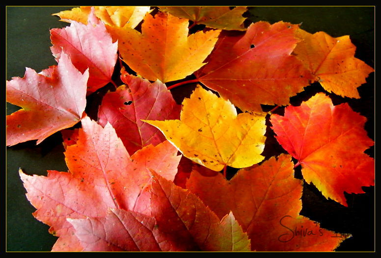 Maple-leaves-fall - colors