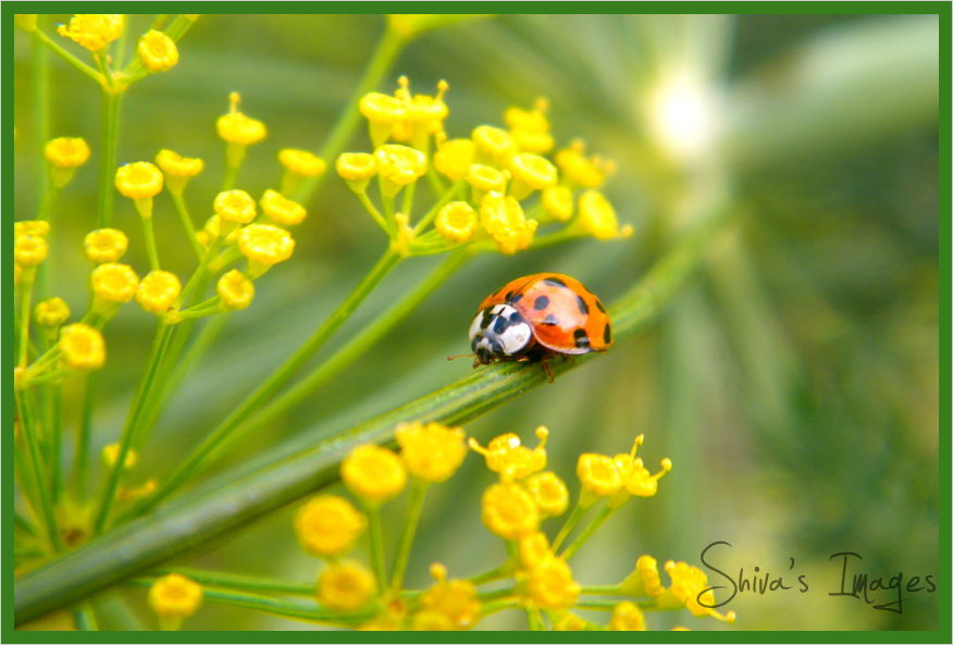 lady bug - plant - dll