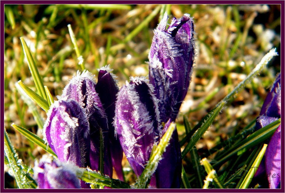 Purple - crocus - frozen