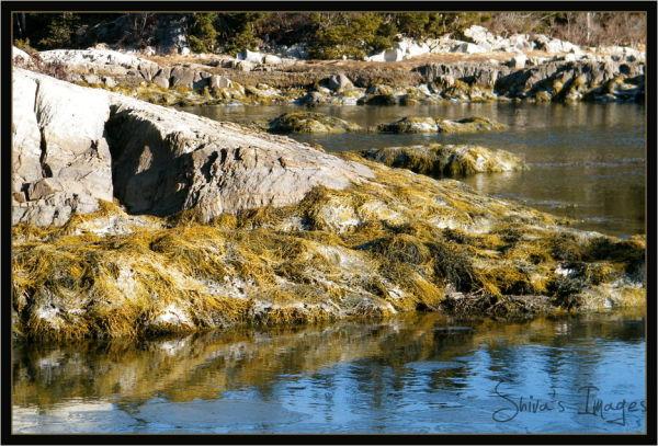seaweed - cove - South Shore, NS.