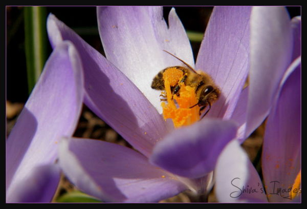 Purple crocus - bee