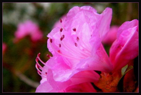 Rhododendron - flower