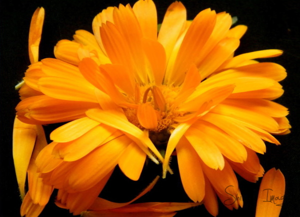 Calendula - fall -