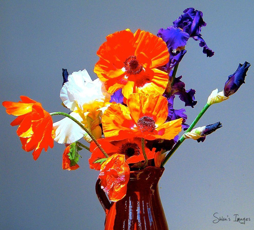 Poppy - Iris