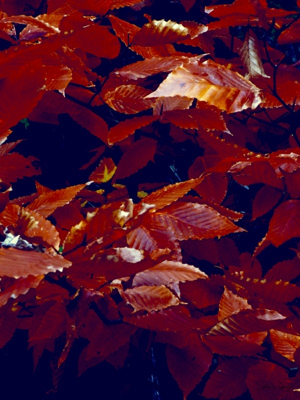 Golden brown leaves