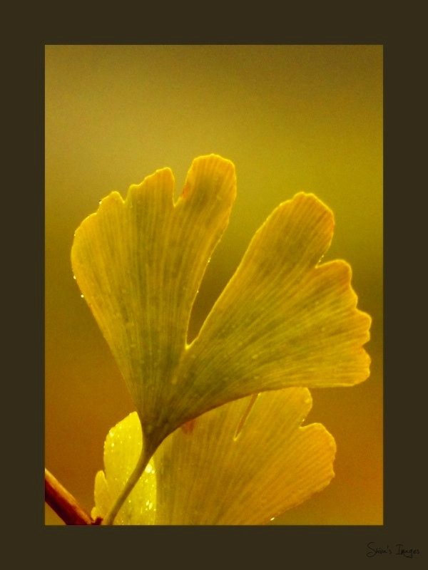 Golden Gingko