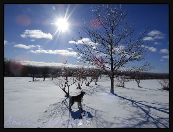 Shiva oak