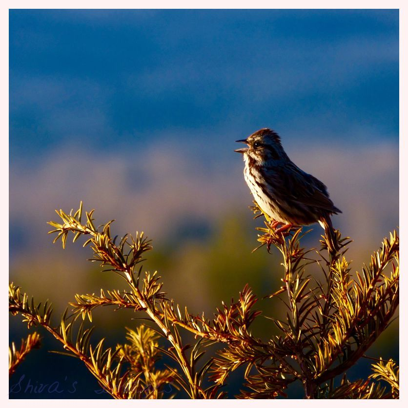 our sing sparrow