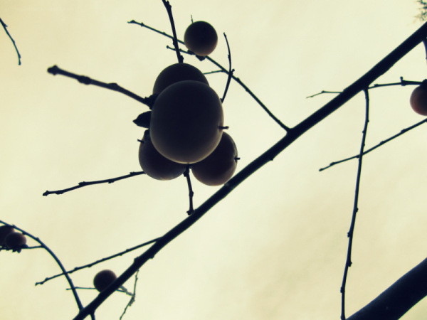 All the persimmons predict snow