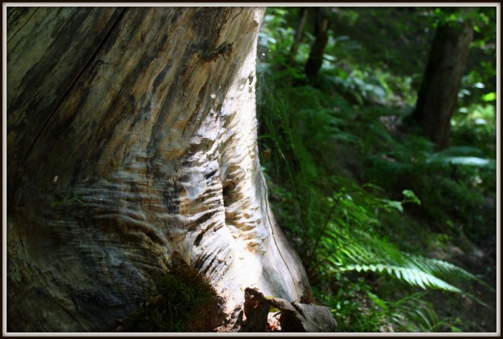 پیر درخت