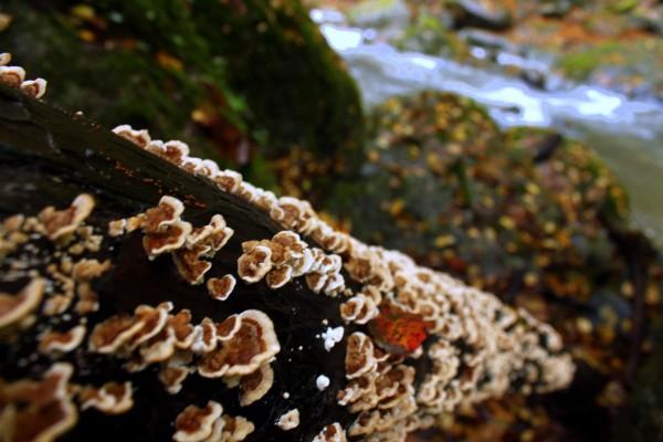 Mushroom 66
