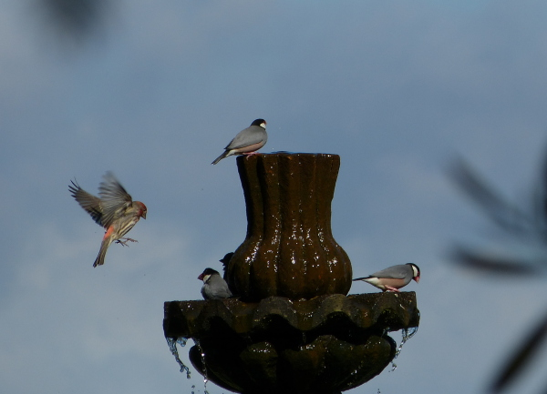 Java Sparrows bathing by James Brennan Molokai