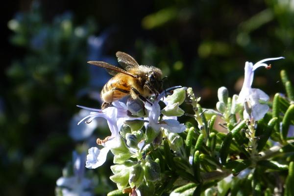 Busy Hawaiian bee gathers nector By James Brennan