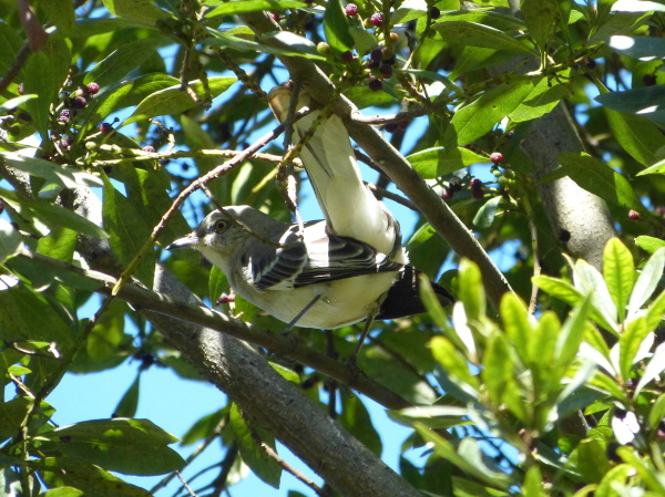 Mockingbird in Hawaii, James Brennan Molokai