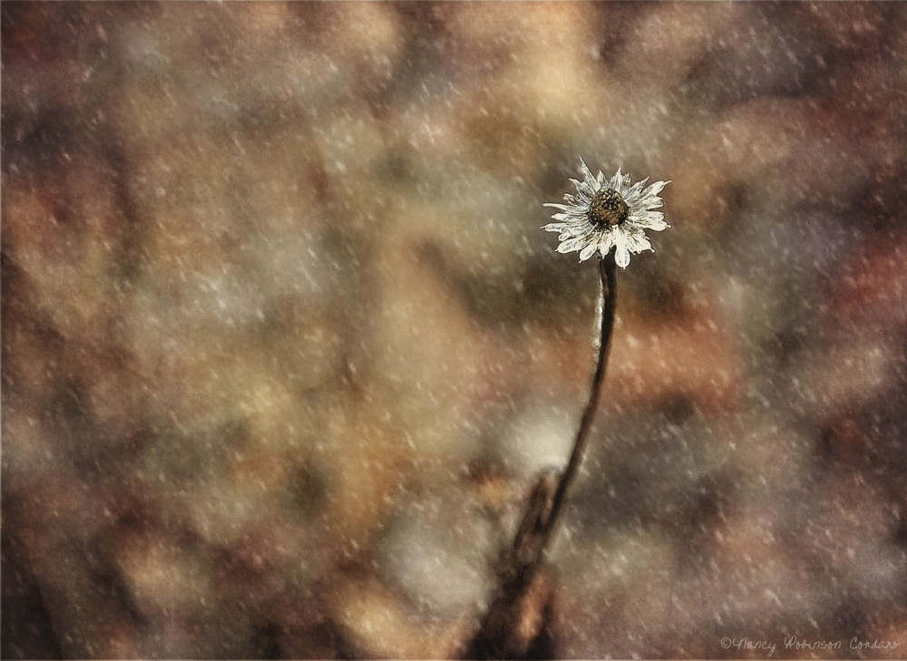 """Winter's """"Daisy"""""""