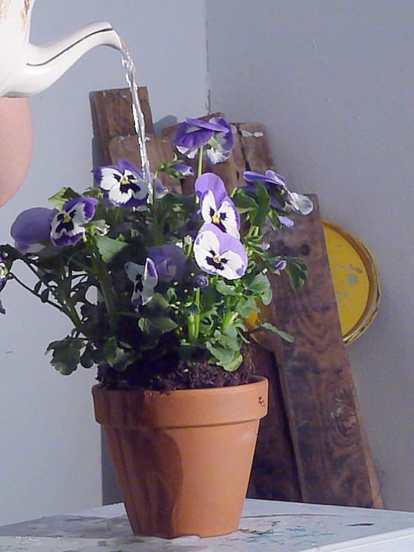 watering pansies