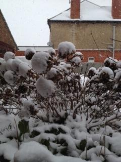 snowball flowers