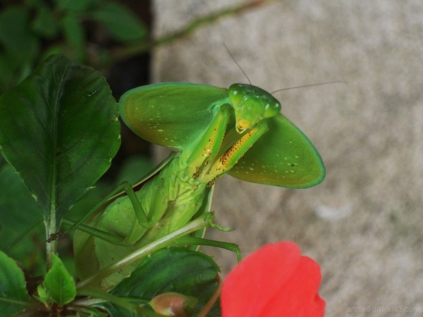 Mante religieuse (Costa Rica)