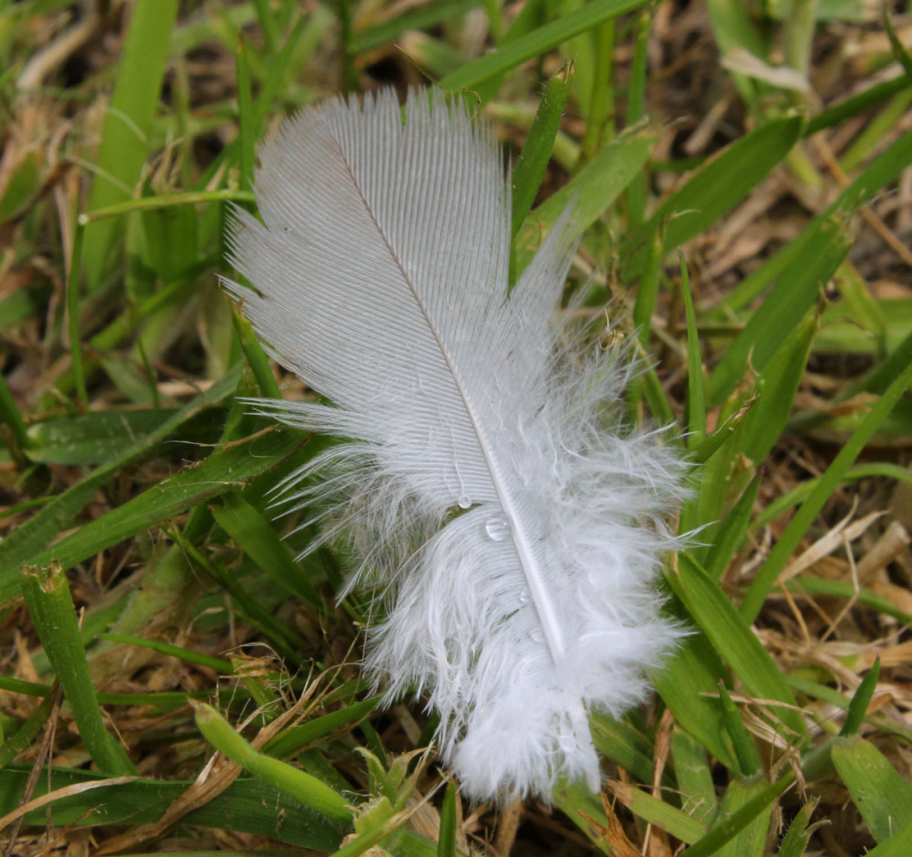 raindrop on a feather