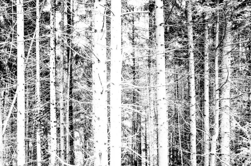 Trees in b&w.