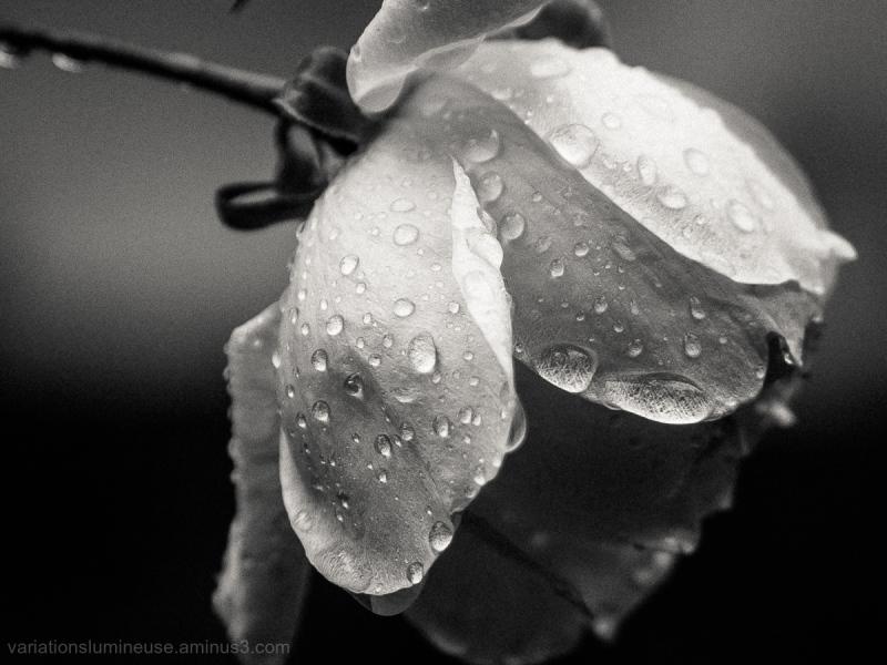 Rose in black and white.