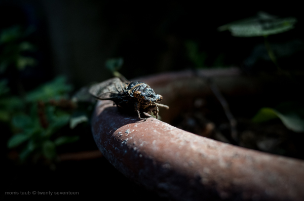 Cicada on edge of flower pot.