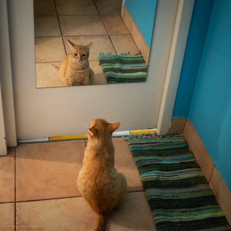 Cat looking in a mirror.