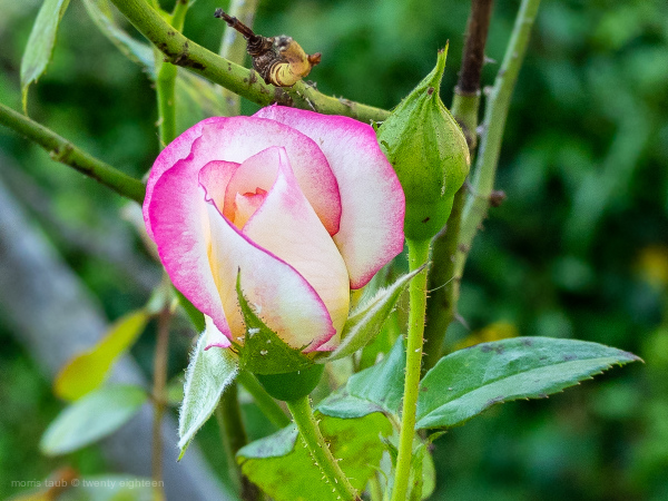 Close up of freshly blooming rose.
