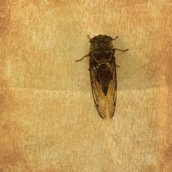 Cicada on curtain summertime.