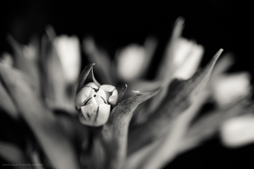 Tulips in black and white.