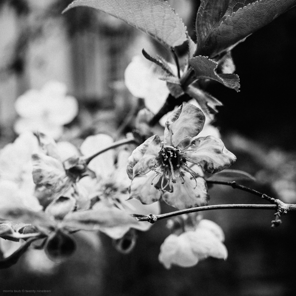 Flowers on my cherry tree in black and white.