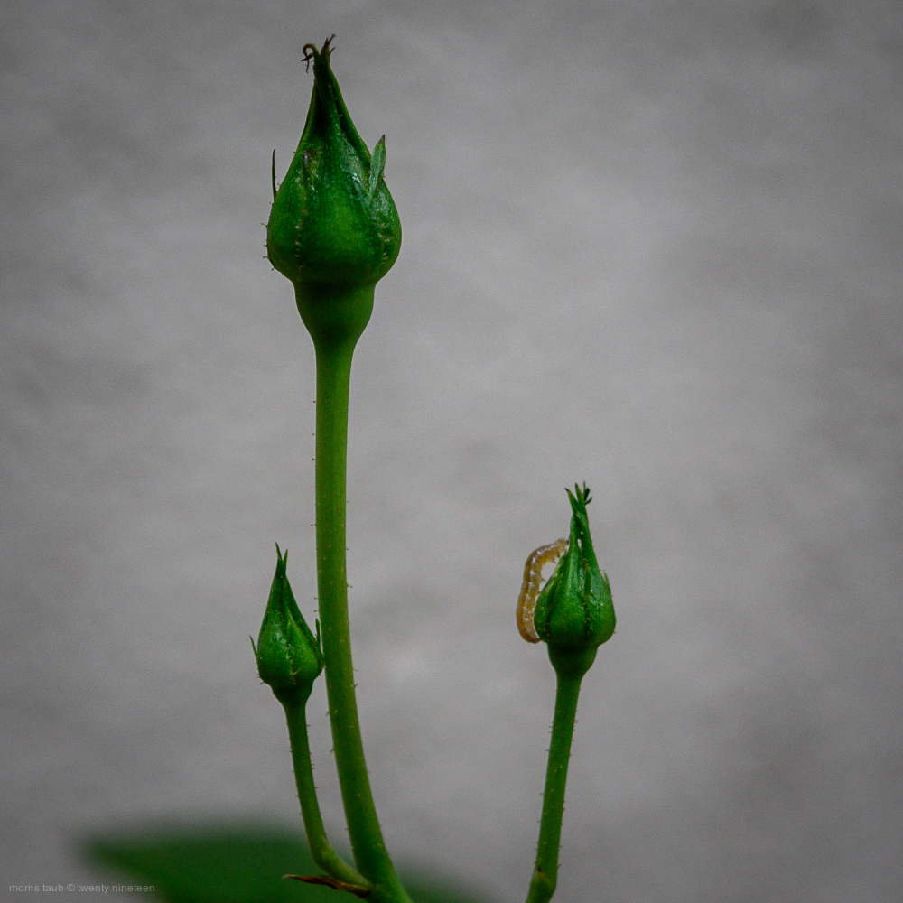 Budding roses with worm.