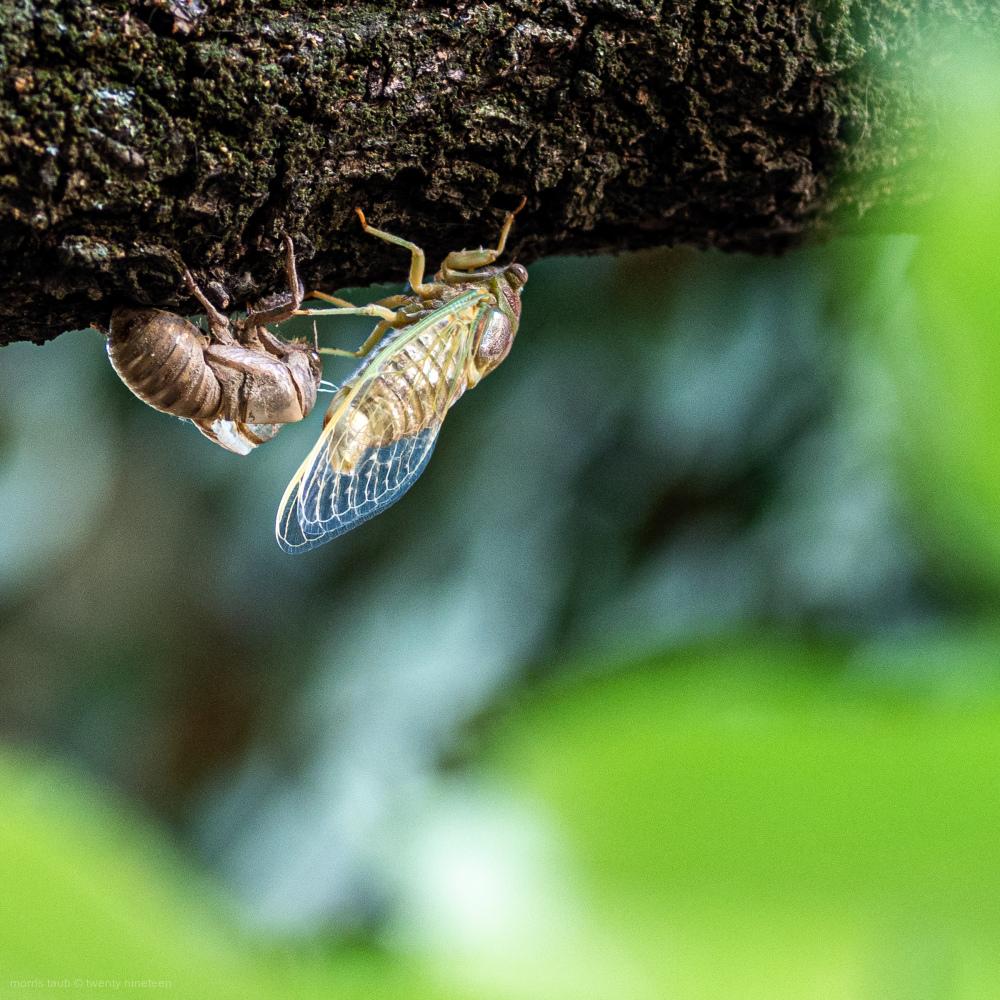 Cicada. New.