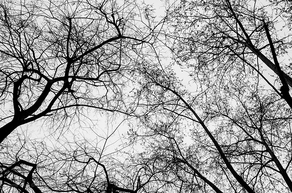 Winter trees in black and white.